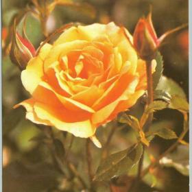 Открытка Роза Смоляков 1984
